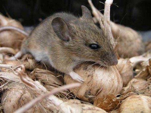 Заговор от мышей и крыс в доме: как выгнать их навсегда