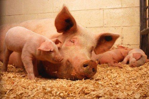 Заговор со свиньей