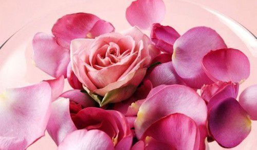 Лепестки чайной розы