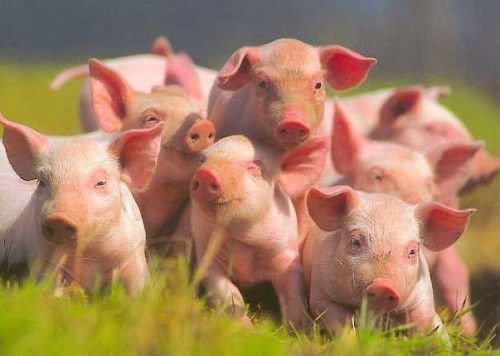 Заговор на хозяйство: чтобы куры неслись, от сглаза коровы