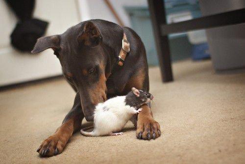 Крыса и Собака замечательно ладят