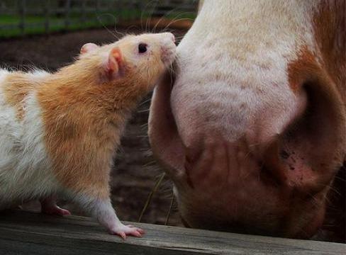 Крысу раздражает мечтательность партнера