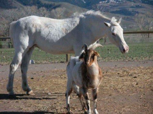 Между Лошадью и козой существует множество противоречий