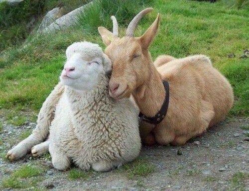 Овца талантливый распорядитель