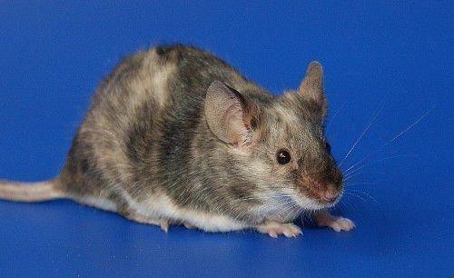 Стихией года Крысы является вода