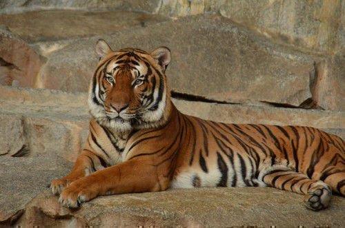 Тигр по гороскопу