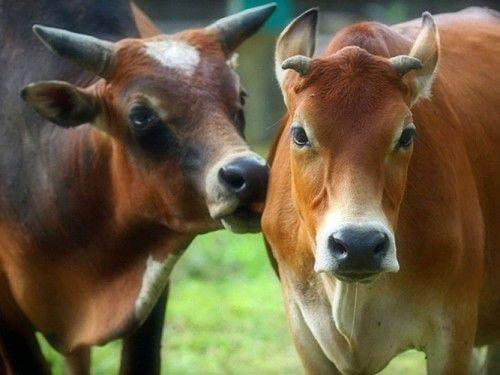 Бык и Коза: совместимость в любви, браке по гороскопу
