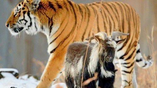 Тигр Амур козел Тимур