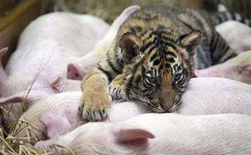 Тигр и Свинья