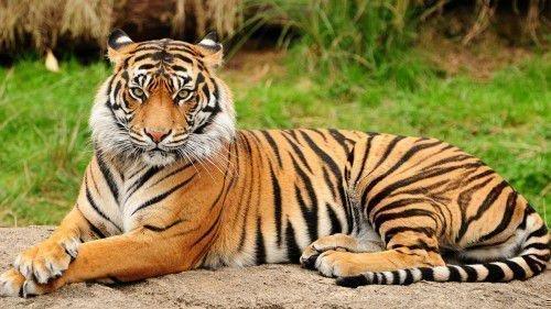 Тигр и Свинья: совместимость в любви, браке по гороскопу