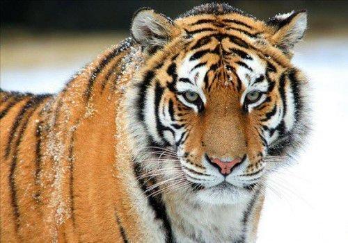 Тигр и Петух: совместимость в любви, браке по гороскопу