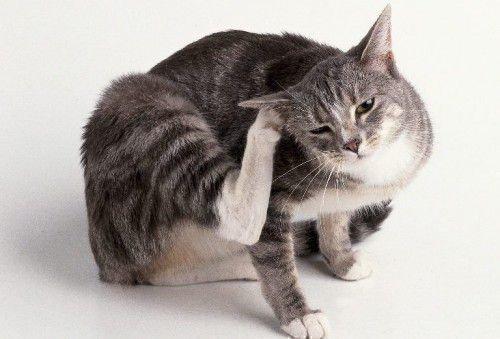 Кошка чешет ухо