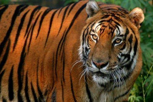 Тигр и Тигр: совместимость в любви, браке по китайскому гороскопу