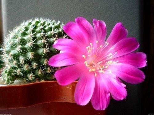 Нардные приметы: к чему цветет кактус, можно ли держать дома