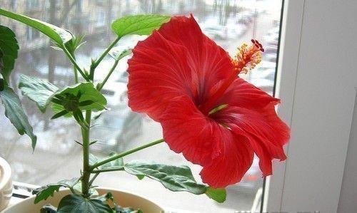 Цветок комнатного гибискуса