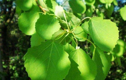 дерево осины