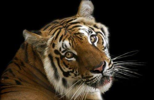 Год Тигра означает прирожденного лидера