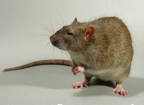 Крыса ценит верность, но любит разнообразие