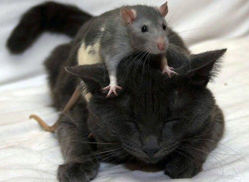 Крыса и Кот вполне совместимая комбинация