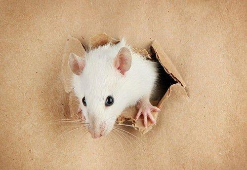 Крыса не стремится к явному лидерству