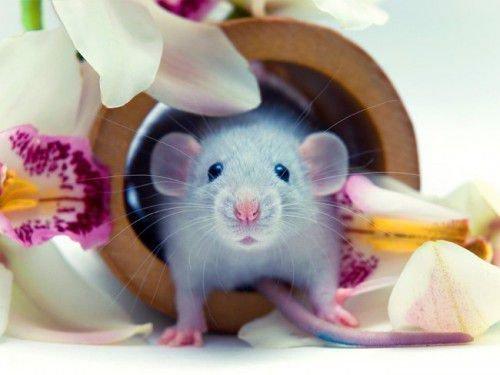 Крыса – тонкий манипулятор
