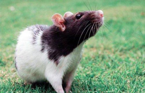 Крысы не любят, когда их ограничивают
