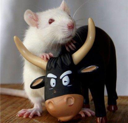 Совместимость в любви Быка и Крысы практически идеальна