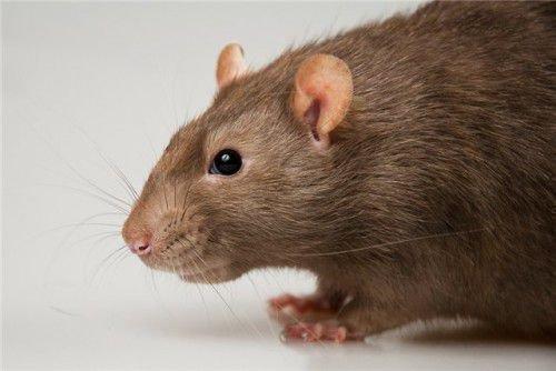 Женщины-крысы однолюб