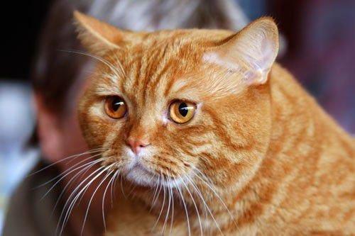 Приметы связанные с рыжими котами: пришел в дом