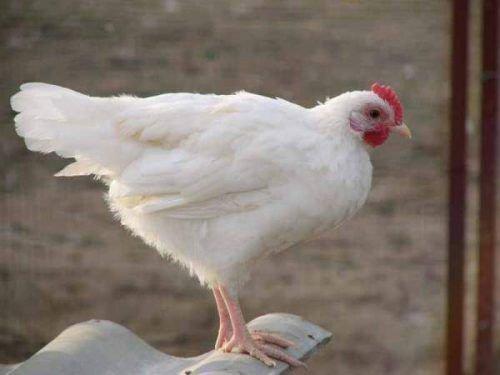 Белая курица для заговора